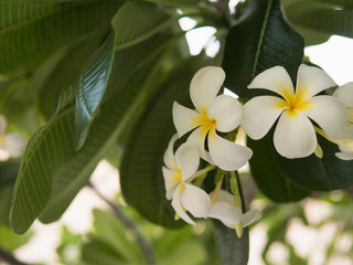 Photo sur Plexiglas Frangipanni White blossom plumeria flowers on branch leaves tree plant. Fresh natural background.