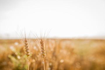 Getreide im Feld vor hellem Himmel...Lensbaby