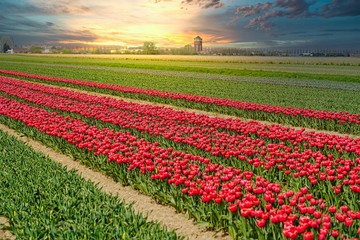tulip field of red tulips