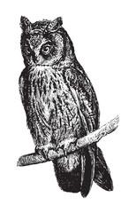 Wall Murals Owls cartoon long-eared owl (Asio otus) / vintage illustration from Brockhaus Konversations Lexikon 1908