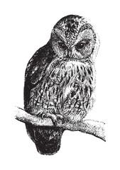 Canvas Prints Owls cartoon Tawny Owl (Syrnium aluco) / vintage illustration from Brockhaus Konversations Lexikon 1908