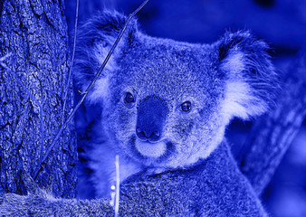 Photo sur Aluminium Koala nice koala in blue , brisbane-australia