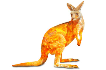 Wall Mural - Composition about kangaroo wildlife in the Australian bushfires in 2020. Standing kangaroo with fire isolated on white background. Macropus rufus species.
