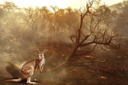 Composition about Australian wildlife in bushfires of Australia in 2020. Kangaroo with fire on background. January 2020 fire affecting Australia is considered the most devastating and deadly ever seen
