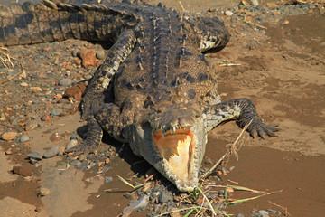 Acrylic Prints Crocodile Spitzkrokodil