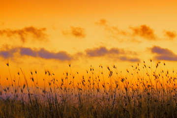 Seashore with tall dry grass at sunset. Golden sunset over sea. Grass against dramatic evening sky....