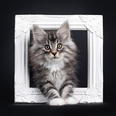 Wall Mural - Adorable black silver tabby blotched Norwegian Forestcat kitten, standing through white photo frame. Looking to camera with greenish eyes. Isolated on black background.