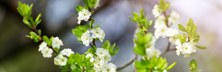 blurred plum tree background in bloom in spring