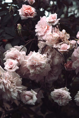 Close angle view of roses in a garden