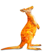Composition about kangaroo wildlife in the Australian bushfires in 2020. Standing kangaroo with fire isolated on white background. Macropus rufus species.
