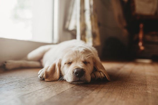 Sleeping yellow Labrador lab puppy