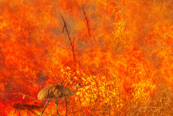 Wall Mural - Australian wildlife in bushfires of Australia. Emu with fire on the background. The 2020 devastating wildfires affecting Australia are considered the most deadly ever seen.