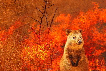 Wall Mural - Composition about Australian wildlife in bushfires of Australia in 2020. Quokka with fire on background. January 2020 fire affecting Australia is considered the most devastating and deadly ever seen