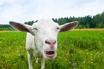 Wall Mural - Funny white goat on green grass