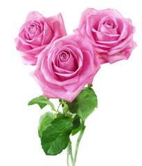 Keuken foto achterwand Roses Beautiful roses bunch isolated on white background