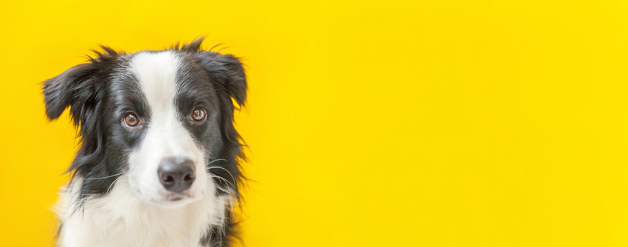 Funny studio portrait of cute smilling puppy dog border collie isolated on yellow background. New lovely member of family little dog gazing and waiting for reward. Pet care and animals concept Banner