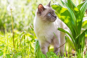 A cat with blue eyes walks through the garden in green grass.