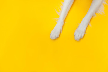 Funny puppy dog border collie paws close up isolated on yellow background. Pet care and animals concept. Dog foot leg overhead top view. Flat lay copy space place for text. Fotobehang