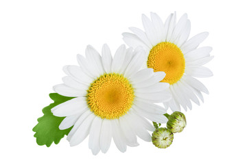 Photo sur Toile Marguerites one chamomile or daisies with leaves isolated on white background