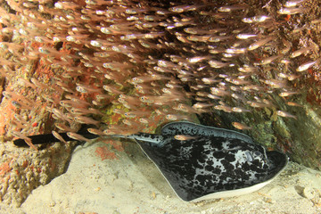 Blotched Fantail Ray (Marbled Ray or Stingray)