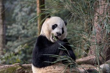 Wall Mural - Panda Bear Eating Bamboo, Bifengxia Panda Reserve in Ya'an Sichuan Province, China. Panda