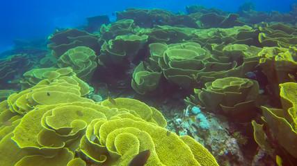 cabbage coral, Turbinaria reniformis, on rainbow reef in fiji