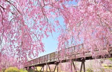 Fototapeten Rosa Lovey 常陸風土記の丘の桜