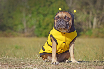 Cute and funny brown French Bulldog dog dressed up as a bee wearing a black and yellow Halloween costume with hood and antlers