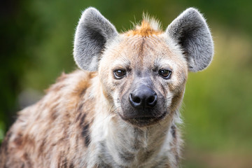 Close up of a wild hyena staring at the camera against a green bokeh background