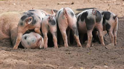 Piglets on the farm