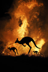 Bushfire IN Australia Forest Many Kangaroos And Other Animals Running Escaping To Save Their Lives,...