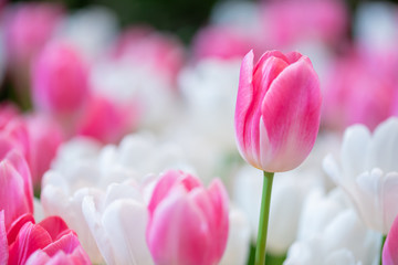 pink tulip , group of fresh tulips flower