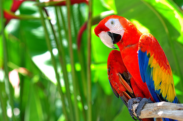 Poster Perroquets Colorful Parrot