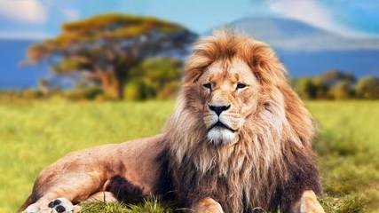 Autocollant pour porte Lion portrait of a lion