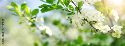 Wall mural blurred plum tree background in bloom in spring