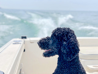 Side profile of a dog on a boat watching the water