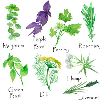 Watercolor hand painted nature herbs and spices set with green marjoram, parsley, rosemary, green basil, purple basil leaves and branches, blossom dill, hamp and lavender plants flowers isolated