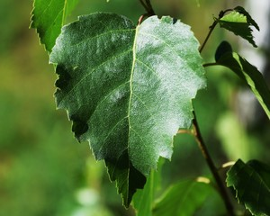 Closeup birch leaf in summer. Leaf of the deciduous tree