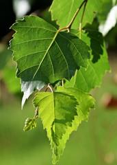Green birch leaf