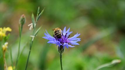 Bee on the Cornflower. Blue summer flower on meadow
