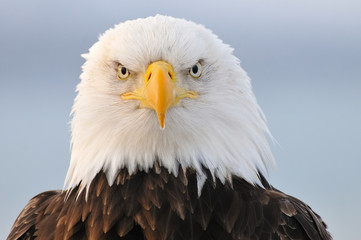 Photo sur Plexiglas Aigle Bald eagle portrait