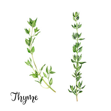 Thyme herb watercolor isolated on white background