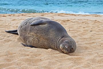 A female Hawaiian monk seal, Monachus schauinslandi, is hauled up on the beach in Poipu, Kauai.