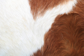 Chestnut and White Pony Feather