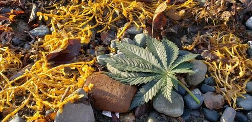 Cannabis Leaf Seaweed Bed_2