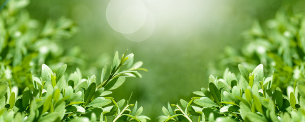 background panorama fresh, young boxwood leaves close-up, spring background,