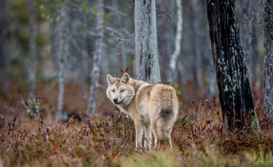 Eurasian wolf, also known as the gray or grey wolf also known as Timber wolf.  Scientific name: Canis lupus lupus. Natural habitat. Autumn forest.