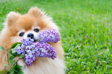 Fototapeta red pomeranian spitz with branch of lilac on green background. dog carries a bouquet, performs a command. flower delivery. copy space obraz