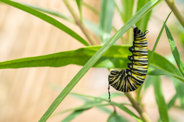 Monarch Butterfly Caterpillar hanging on a leaf preparing to form into a Chrysalis Horizontal