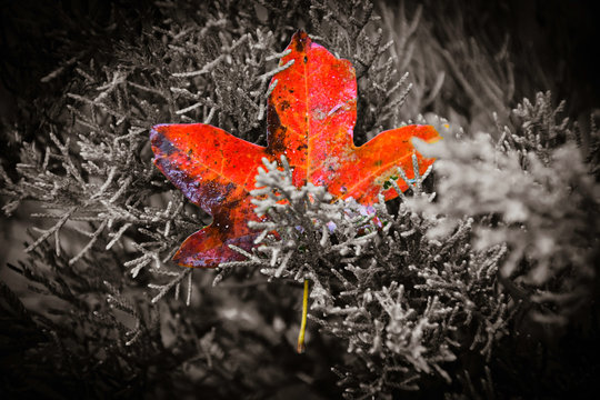 Red Leaf in black and white tree